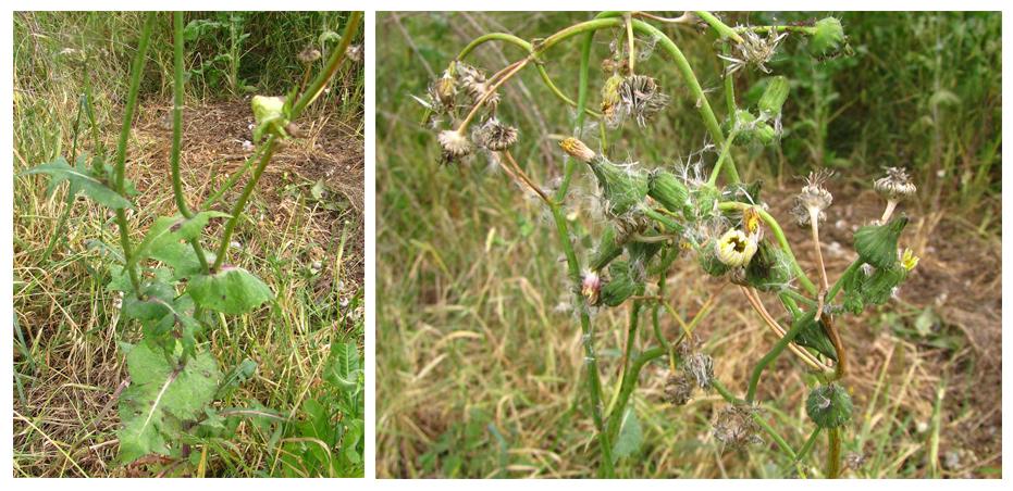 מראה כללי של צמח בוגר. צילם: נוגן צברי