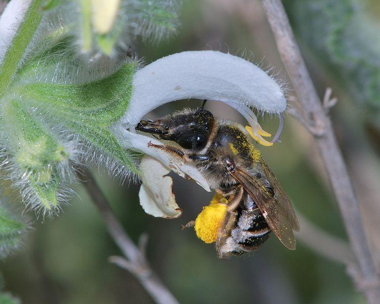 נקבה של דבורת בר מהסוג מחושית Eucera יונקת צוף ומאביקה פרח של מרווה ריחנית, שפלת יהודה, 10 באפריל 2011. (ויקיפדיה)