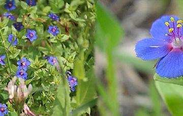 מרגנית השדה Anagallis arvensis