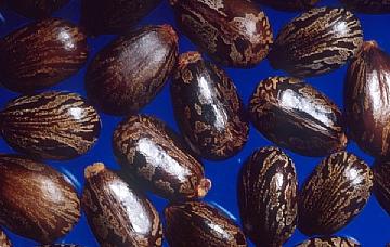 זרעי קיקיון (ערך: קיקיון) https://he.wikipedia.org