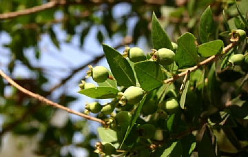 הדס פרי צעיר