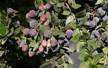 הדס פרי בשל