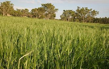 שדה שעורים ירוק