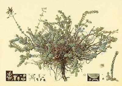 ציור של אזוב בסוף שלב הפריחה. ניתן לראות את השערות המקנות לצמח מראה אפרפר. צייר: שמואל חרובי לאנציקלופדיה שבקשו הראובנים לפרסם: אוצר צמחי ישראל (1927-1923)