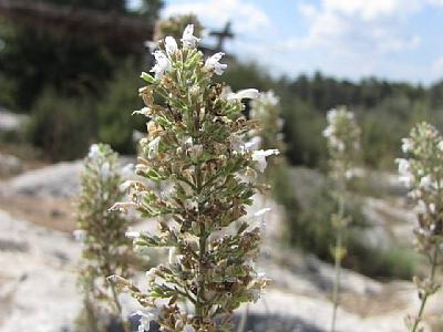 וּטָה לְבָנָה Micromeria fruticosa