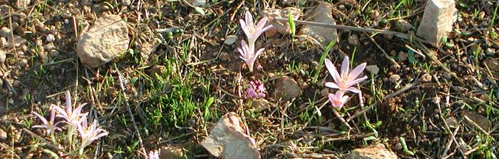 צֶבֶר של פרחי בר-יורה (סתוונית), צילום: נגה הראובני