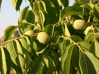 פירות קליפה ירוקה (צולם בנאות קדומים)