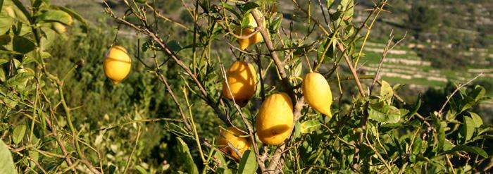 הָדָר הָאֶתְרוֹג (אֶתְרוֹג) ,Citrus medica