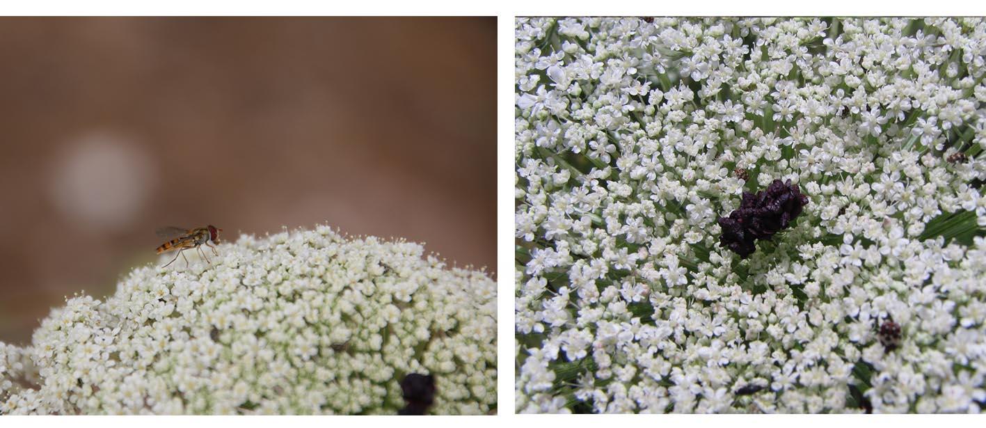 פרחים שחורים ועקרים במרכז המדמים חרק. צילום נוגן צברי חרק שהגיע לביקור בסוכך. צילום נוגן צברי