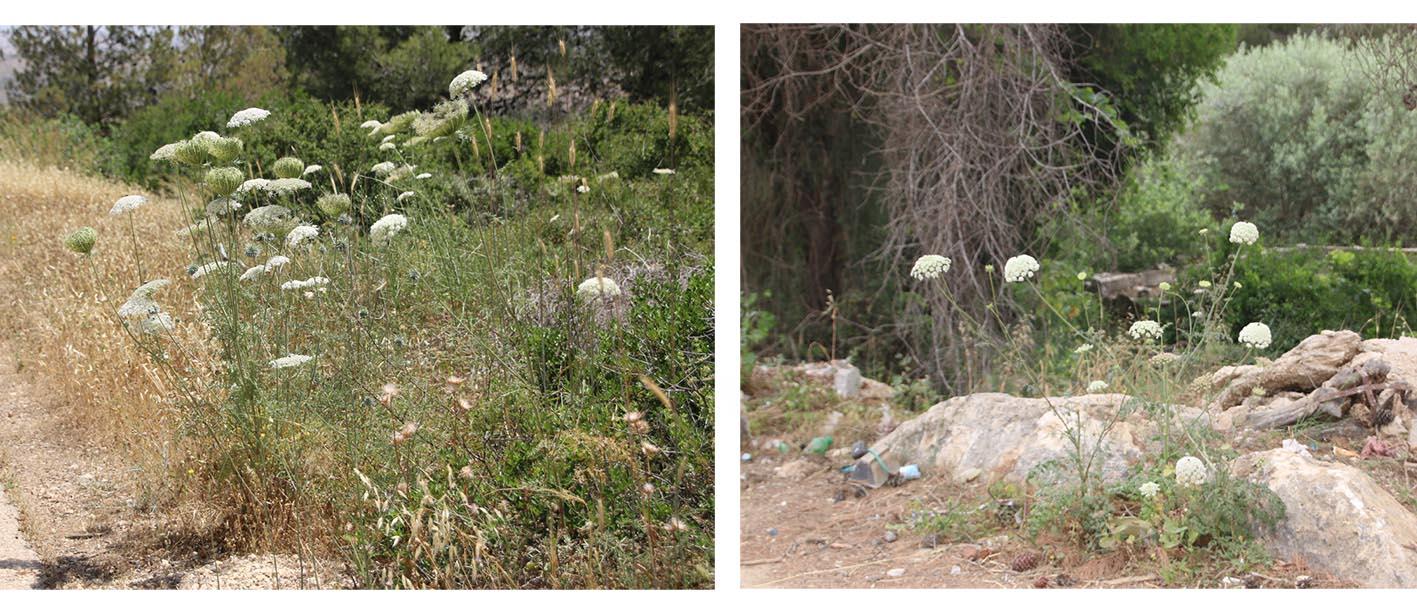 קבוצה של צמחי גזר קיפח. צילם נוגן צברי