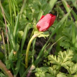כלניות בנאות קדומים; שימו לב לטבעת הלבנה בפרחים