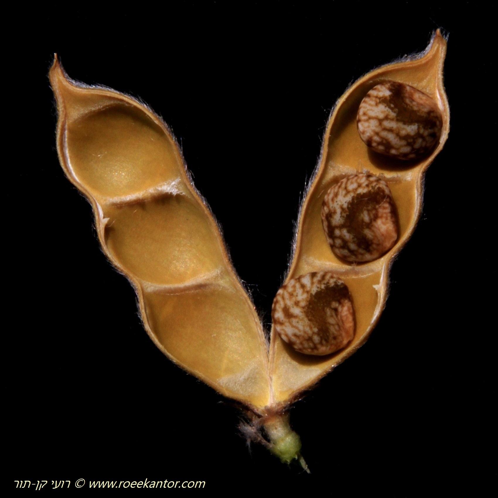 תרמיל של זרעים (צילום: רועי קן-תור www.roeekantor.com)
