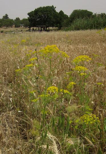 נירית הקמה בשדה חיטה בנאות קדומים צילום: אירית שרניקוף, נאות קדומים