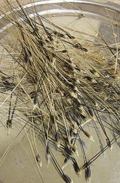 אוסף שיבוליות המיועד להפרדת זרעים