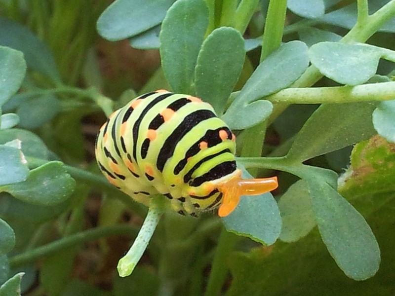 זחל של זנב סנונית (מתוך ויקיפדיה)
