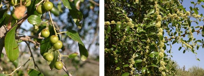 האטד בפריחה ובפירות (דומים) צילום: נגה הראובני, נאות קדומים