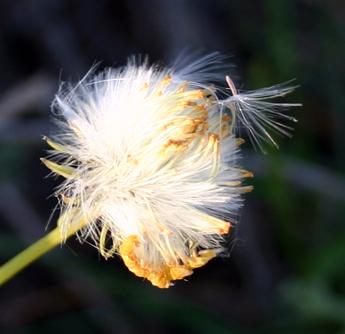פרח סביון בשלב פיזור הזרעים (צילום: נגה הראובני)
