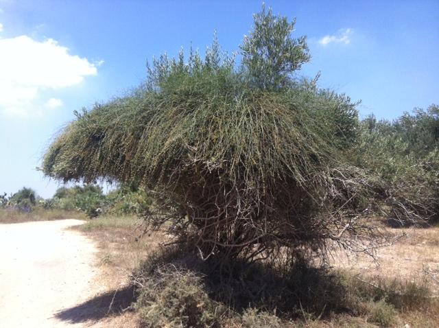 "שרביטן ""מצר"" על עץ זית (צילום: ד""ר שרה"