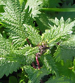 """סרפד צורב בפריחה, ניתן לראות גם את המחטים הזעירות והצורבות. באדיבות אתר """"צמח השדה"""" www.wildflowers.co.il"""