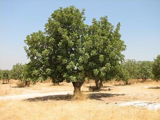 עץ חרוב - מראה כללי