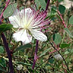 צלף Capparis spinosa