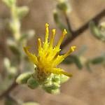 כְּתֵלָה חֲרִיפָה Chiliadenus iphionoides