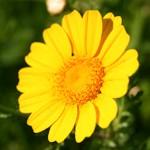 חַרְצִית עֲטוּרָה Chrysanthemum coronarium