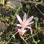 סִתְוָנִית הַיּוֹרֶה Colchicum stevenii