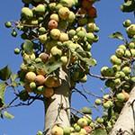 שִׁקְמָה (פִיקוּס הַשִּׁקְמָה) Ficus sycomorus