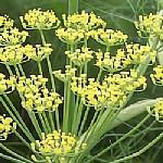 שֻׁמָּר פָּשׁוּט Foeniculum vulgare