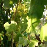 גפן היין Vitis vinife