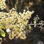כופר לבן Lawsonia alba