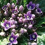דּוּדָא או דּוּדָאִים Mandrake