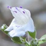 זוּטָה לְבָנָה Micromeria fruticosa