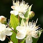 הדס מצוי Myrtus communis
