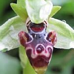 דְּבוֹרָנִית דִּינְסְמוֹר Ophrys umbilicata