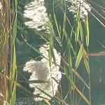 קָנֶה מָצוּי Phragmites australis