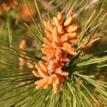 אֹרֶן יְרוּשָׁלַיִם Pinus halepensis