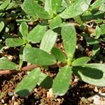 רְגֵלַת הַגִּנָּה Portulaca oleracea