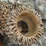 אַלּוֹן הַתָּבוֹר Quercus ithaburensis