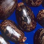 קִיקָיוֹן מָצוּי Ricinus communis