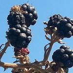 פֶּטֶל קָדוֹשׁ Rubus sanctus