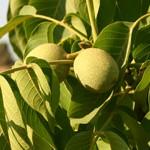 אגוז Walnut