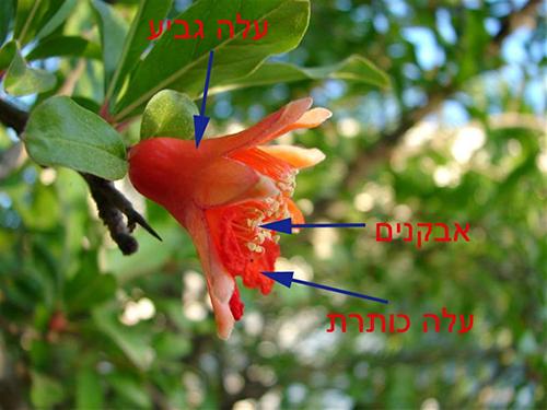 """מבנה פרח הרימון באדיבות """"פורטל הדף היומי"""" https://daf-yomi.com/DYItemDetails.aspx?itemId=2241"""
