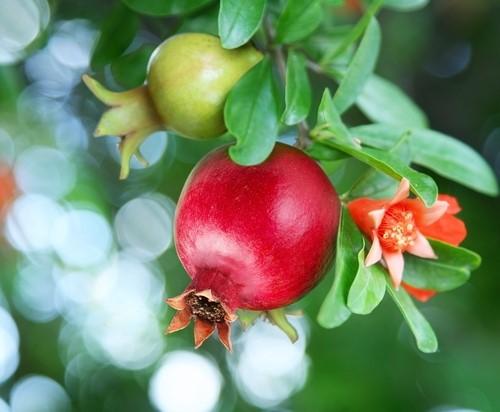 שלבים בהבשלת הרימון מפרח לפרי בשל