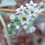 עֹקֶץ-עַקְרָב אֵירוֹפִּי Heliotropium europaeum