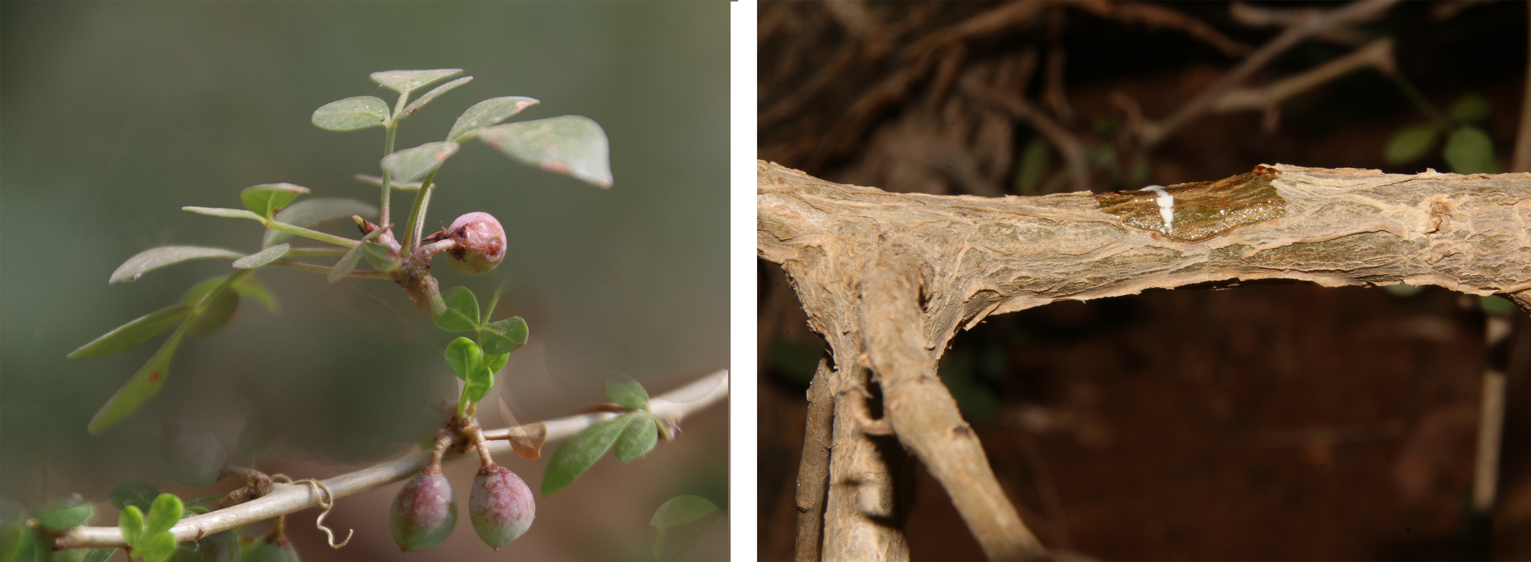 פרי הצמח