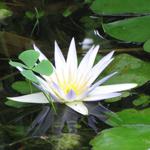 נִימְפֵאָה תְּכֻלָּה Nymphaeaceae