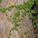 טָמוּס מִזְרָחִי Tamus orientalis