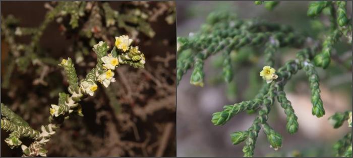 תקריב של פרחי המתנן (יתרן) . צילום: נוגן צברי